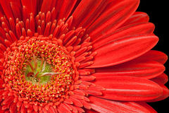 Red gerbera daisy Stock Photography