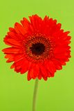Red Gerbera Daisy. On green background Royalty Free Stock Photos