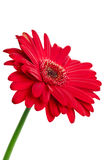 Red gerbera daisy royalty free stock photography