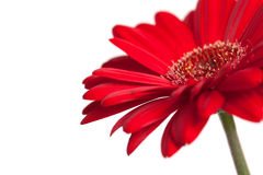 Red gerbera daisy. Closeup of a red gerbera daisy isolated on white royalty free stock photos