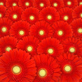 Red gerbera daisy background Stock Images