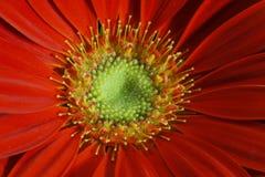 Red gerbera daisy. Beautiful macro shot of red Gerbera Stock Photo