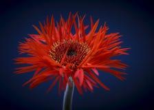 Red gerbera daisy stock photography