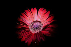 Red gerbera daisy. On black background Royalty Free Stock Images