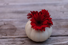 Red gerbera daisy in a carved white Casper pumpkin Stock Images