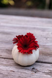 Red gerbera daisy in a carved white Casper pumpkin Stock Photos