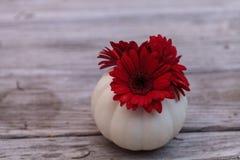 Red gerbera daisy in a carved white Casper pumpkin Stock Photo
