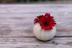 Red gerbera daisy in a carved white Casper pumpkin Stock Image