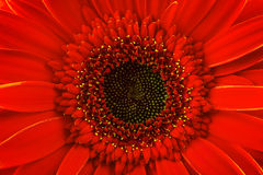 Red gerbera daisy, close up Stock Photo