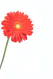 Red Gerbera daisy decoration Stock Photography