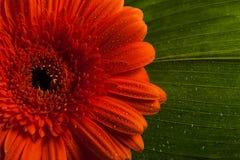 Red gerbera daisy flower Royalty Free Stock Image