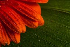 Red gerbera daisy flower Royalty Free Stock Photos