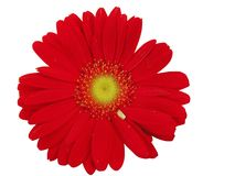 Red Gerbera Daisy Flower Royalty Free Stock Photography