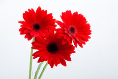 Red gerbera daisy flower Royalty Free Stock Photos