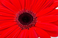 Red gerbera daisy flower Royalty Free Stock Photo