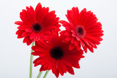 red gerbera daisy flower Stock Photography