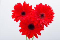 Red gerbera daisy flower Royalty Free Stock Photo