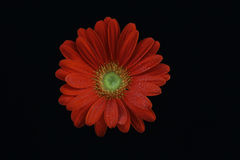 Red gerbera daisy. Flower isolated on black background Stock Images
