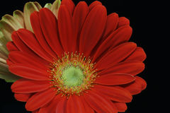 Red gerbera daisy flower. Isolated on a black background Royalty Free Stock Photo