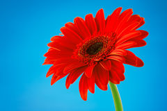 Red gerbera daisy flower isolated on blue background Royalty Free Stock Images