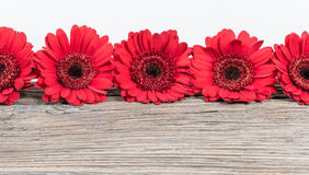 Red Gerbera Daisy flowers border. Royalty Free Stock Photography