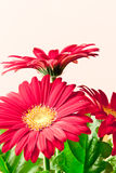 Red  gerbera daisy flowers. Royalty Free Stock Image