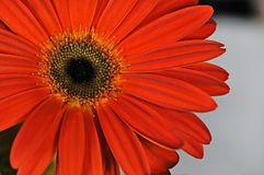 Red Gerbera Daisy. In full bloom royalty free stock photography