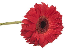 Red gerbera daisy isolated Stock Images