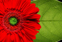 Red Gerbera daisy and leaf. Closeup of a red Gerbera daisy flower and a large green leaf royalty free stock photography