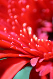 Red Gerbera Daisy Macro. A macro shot of a red gerbera daisy Royalty Free Stock Photos