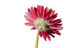 Red Gerbera daisy Royalty Free Stock Images