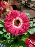 Red Gerbera Daisy stock images