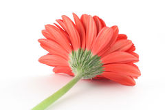 Red gerbera from a different angle Stock Images