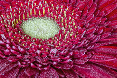 Red gerbera in drops of dew Stock Photography