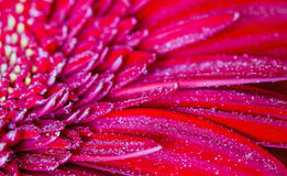 Red gerbera in drops of dew Royalty Free Stock Images