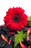 Red gerbera  and fern on black zen stone close up Royalty Free Stock Photo
