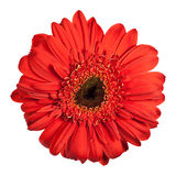Red gerbera flower. Isolated on white background Royalty Free Stock Photo