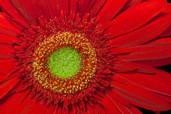 Red gerbera flower Royalty Free Stock Photos