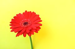 Red Gerbera Flower Royalty Free Stock Photography