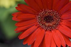 Red Gerbera Flower. Closeup picture Stock Image