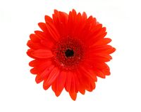 Red gerbera flower stock photo
