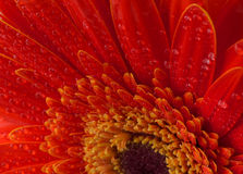 Red gerbera flower background Royalty Free Stock Images