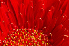 Red Gerbera flower Stock Photography