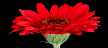 Red gerbera flower on black background Royalty Free Stock Photography