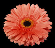 Red  gerbera flower, black isolated background with clipping path. Closeup. Stock Image