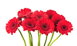 Red Gerbera flower. A bouquet of red Gerbera flower isolated on white background