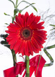 Red Gerbera Flower With Bouquet Royalty Free Stock Photos