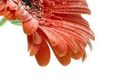 Red Gerbera flower with bubbles closup Royalty Free Stock Photo