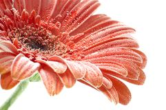 Red Gerbera flower with bubbles closup Royalty Free Stock Photography