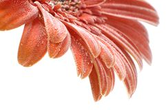 Red Gerbera flower with bubbles closup Stock Image